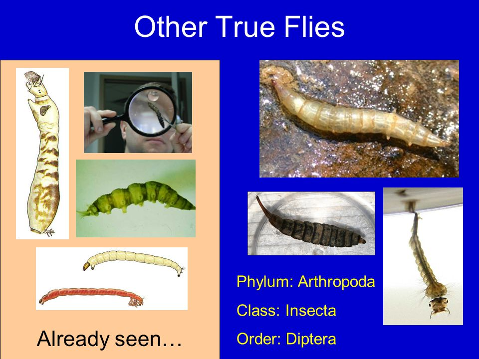 Other True Flies Already seen… Phylum: Arthropoda Class: Insecta Order: Diptera