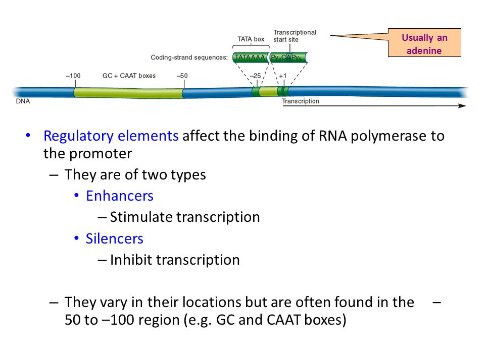 Regulatory elements affect the binding of RNA polymerase to the promoter – They are of two types Enhancers – Stimulate transcription Silencers – Inhibit transcription – They vary in their locations but are often found in the – 50 to –100 region (e.g.