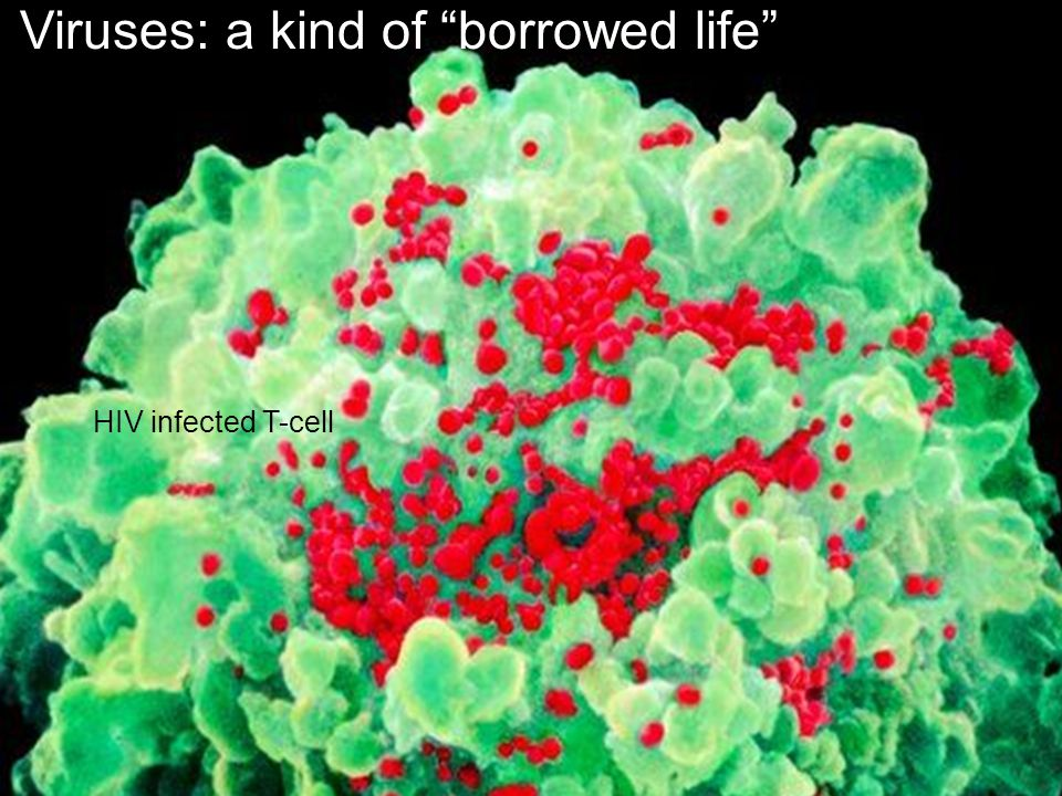 Viruses: a kind of borrowed life HIV infected T-cell