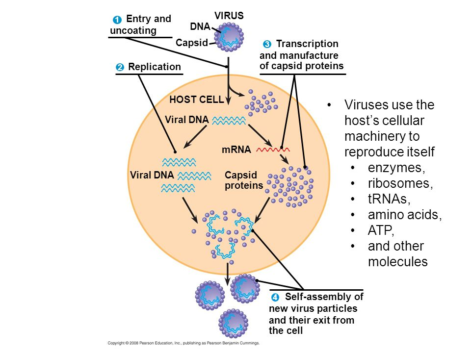 Transcription and manufacture of capsid proteins Self-assembly of new virus particles and their exit from the cell Entry and uncoating VIRUS DNA Capsid 4 Replication HOST CELL Viral DNA mRNA Capsid proteins Viral DNA Viruses use the host's cellular machinery to reproduce itself enzymes, ribosomes, tRNAs, amino acids, ATP, and other molecules