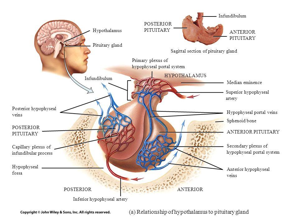 Sphenoid Bone Pituitary Gland | tenderness.co