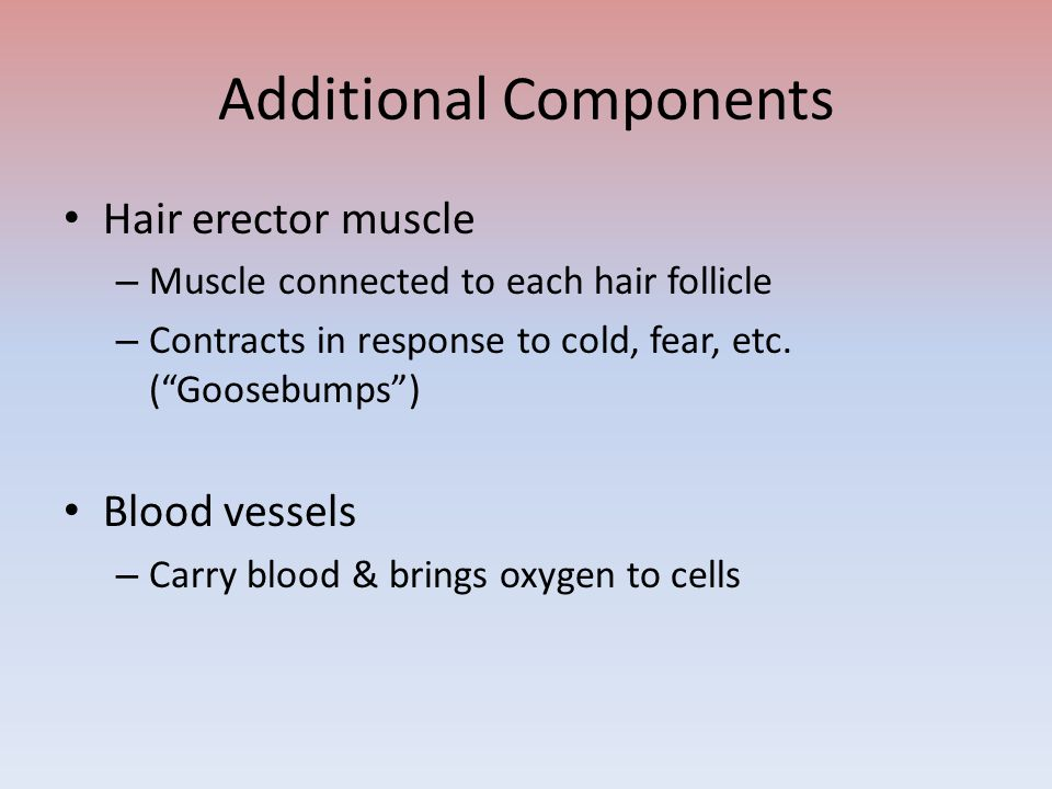 Additional Components Hair erector muscle – Muscle connected to each hair follicle – Contracts in response to cold, fear, etc.