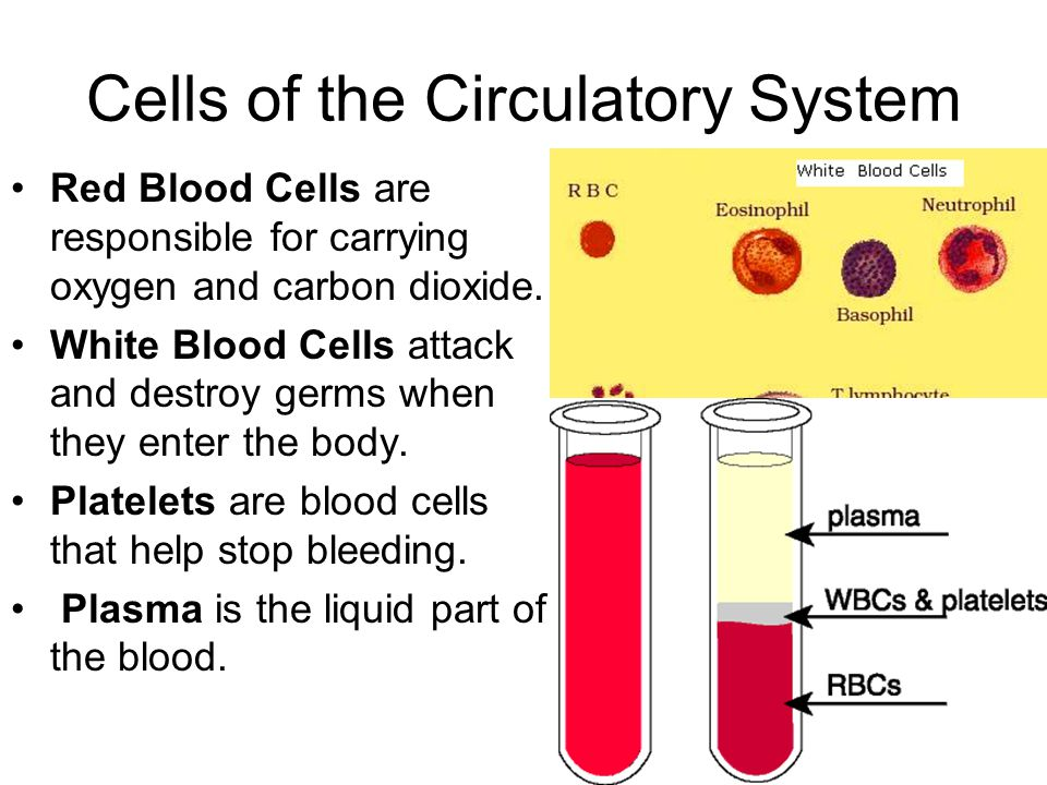 organisation of the circulatory system
