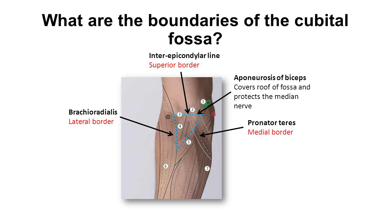 What are the boundaries of the anatomical snuffbox.