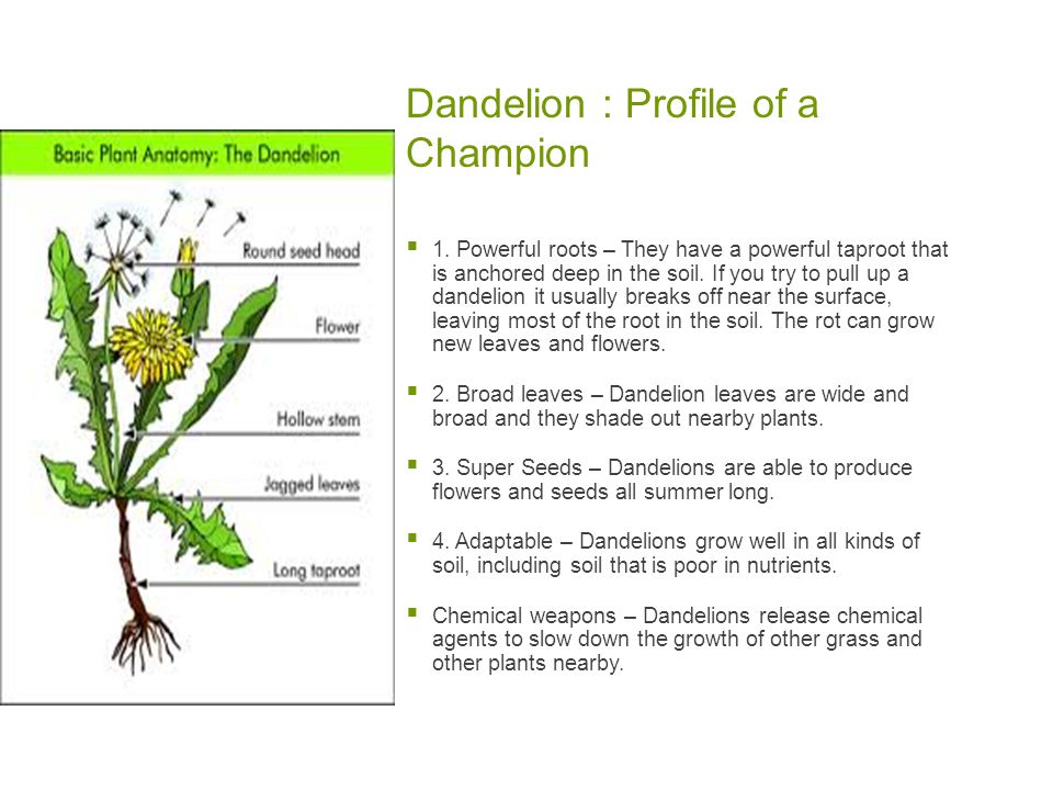 Dandelion : Profile of a Champion  1.