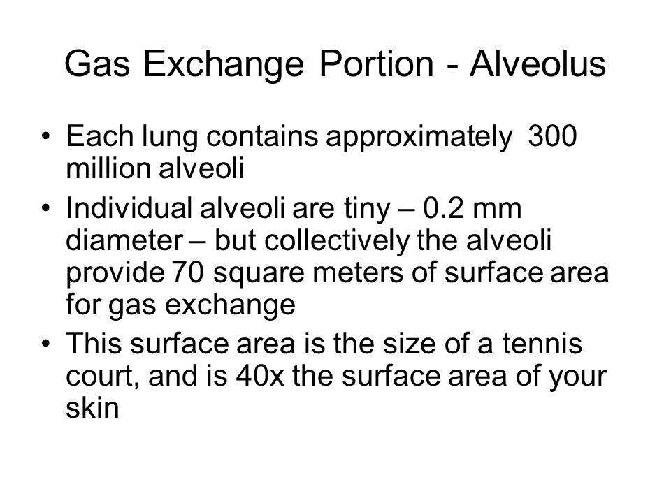 Gas Exchange Portion - Alveolus Each lung contains approximately 300 million alveoli Individual alveoli are tiny – 0.2 mm diameter – but collectively the alveoli provide 70 square meters of surface area for gas exchange This surface area is the size of a tennis court, and is 40x the surface area of your skin