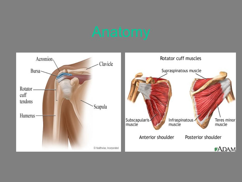 Anatomy rotator cuff muscles