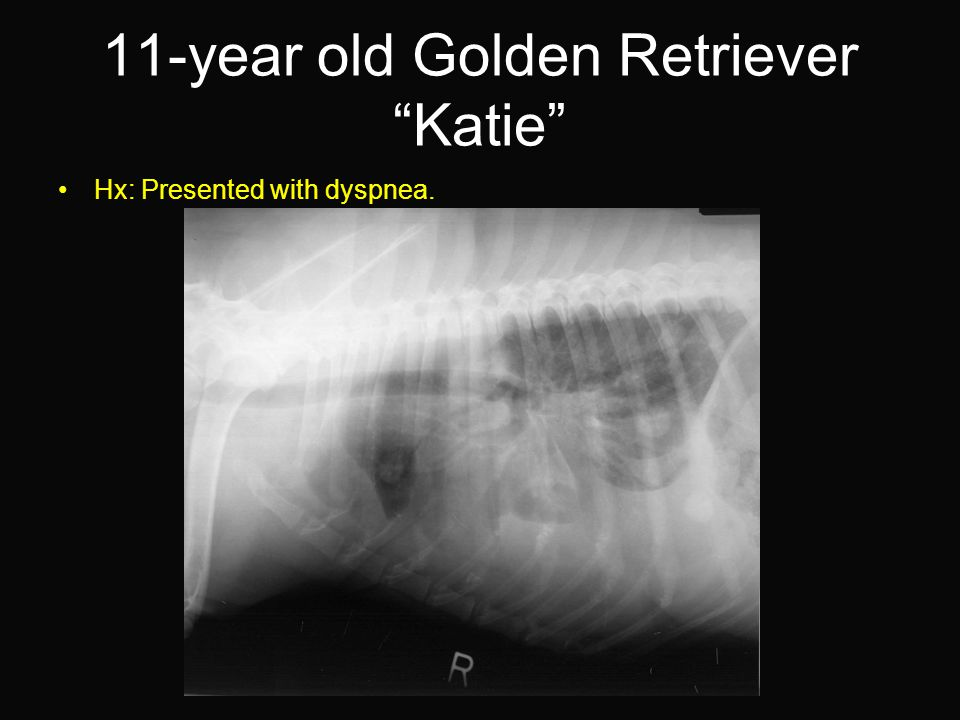 11-year old Golden Retriever Katie Hx: Presented with dyspnea.