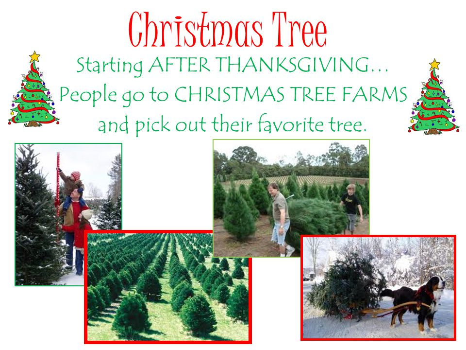 Christmas Tree Starting AFTER THANKSGIVING… People go to CHRISTMAS TREE FARMS and pick out their favorite tree.