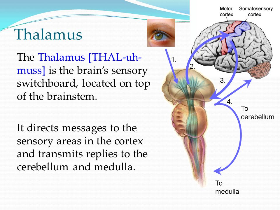 Thalamus The Thalamus [THAL-uh- muss] is the brain's sensory switchboard, located on top of the brainstem.