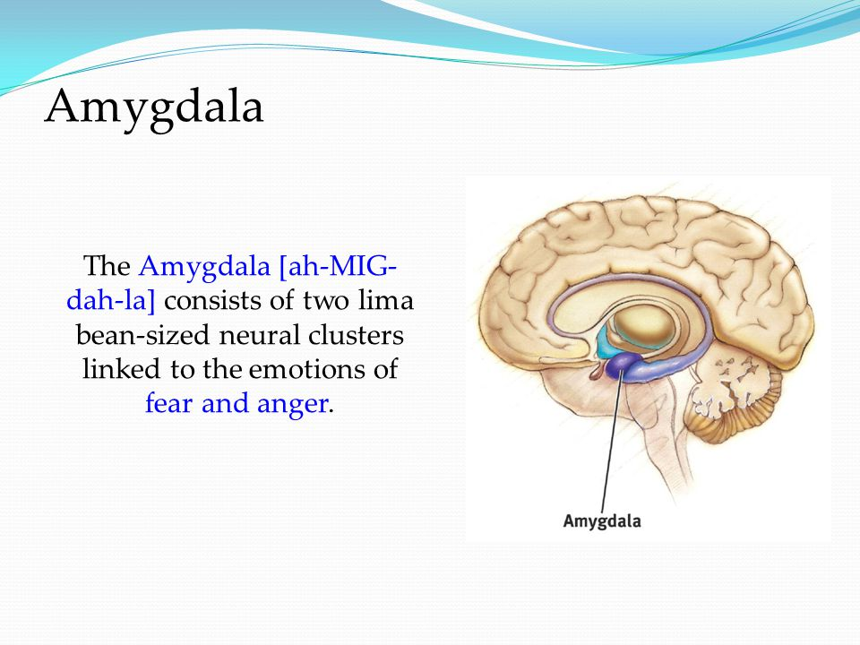 Amygdala The Amygdala [ah-MIG- dah-la] consists of two lima bean-sized neural clusters linked to the emotions of fear and anger.