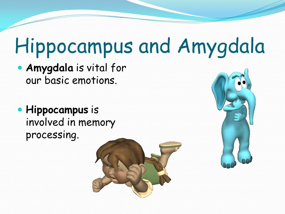 Hippocampus and Amygdala Amygdala is vital for our basic emotions.