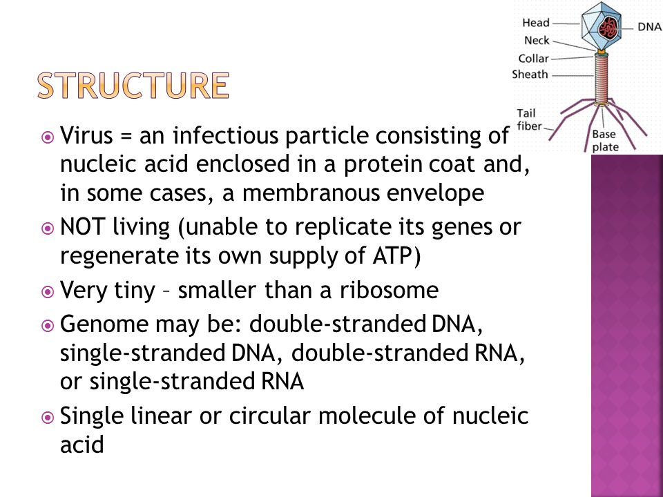  Virus = an infectious particle consisting of nucleic acid enclosed in a protein coat and, in some cases, a membranous envelope  NOT living (unable to replicate its genes or regenerate its own supply of ATP)  Very tiny – smaller than a ribosome  Genome may be: double-stranded DNA, single-stranded DNA, double-stranded RNA, or single-stranded RNA  Single linear or circular molecule of nucleic acid