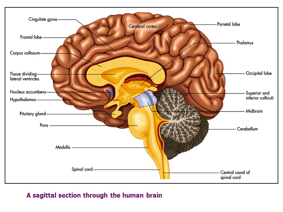 Anatomy Of The Nervous System Dr Alan H Teich Ppt Download