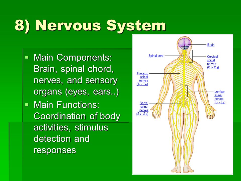 8) Nervous System  Main Components: Brain, spinal chord, nerves, and sensory organs (eyes, ears..)  Main Functions: Coordination of body activities, stimulus detection and responses