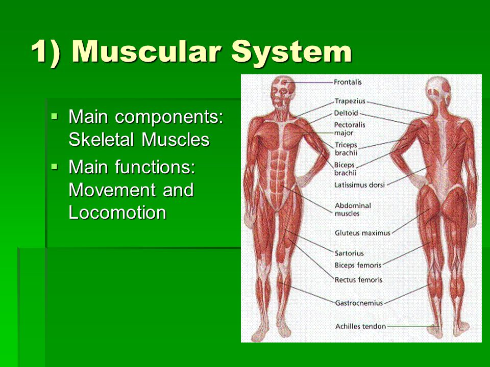 1) Muscular System  Main components: Skeletal Muscles  Main functions: Movement and Locomotion