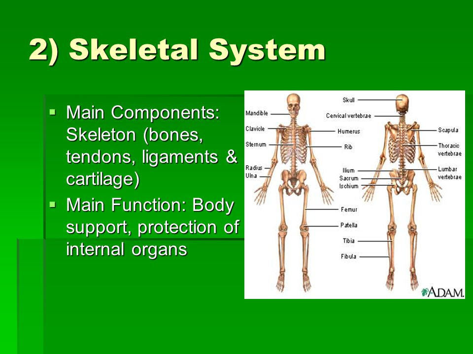 2) Skeletal System  Main Components: Skeleton (bones, tendons, ligaments & cartilage)  Main Function: Body support, protection of internal organs