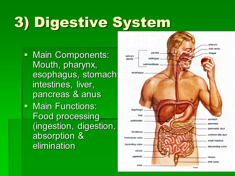 3) Digestive System  Main Components: Mouth, pharynx, esophagus, stomach, intestines, liver, pancreas & anus  Main Functions: Food processing (ingestion, digestion, absorption & elimination