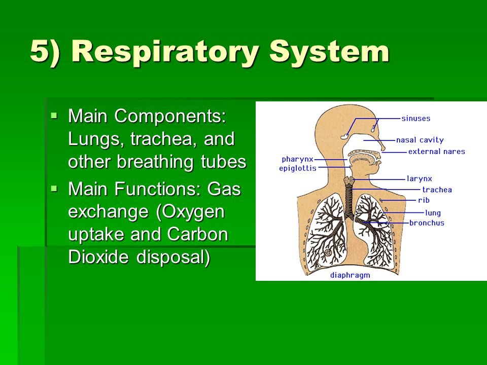 5) Respiratory System  Main Components: Lungs, trachea, and other breathing tubes  Main Functions: Gas exchange (Oxygen uptake and Carbon Dioxide disposal)