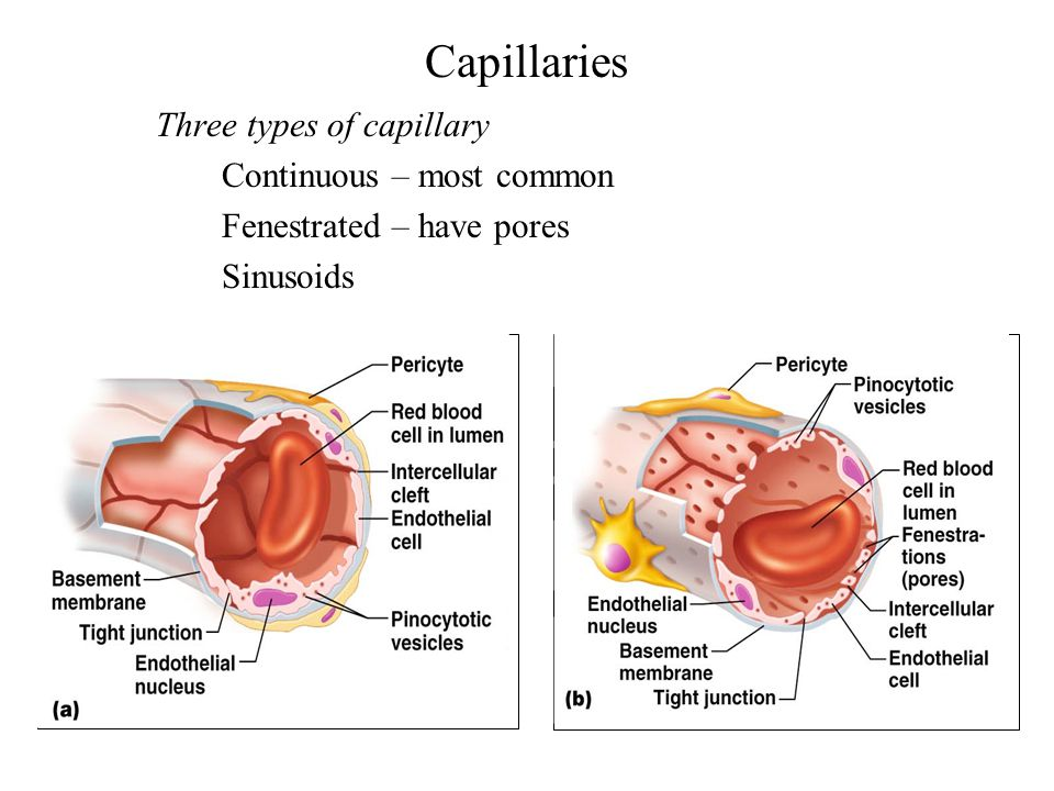 Capillaries Three types of capillary Continuous – most common Fenestrated – have pores Sinusoids