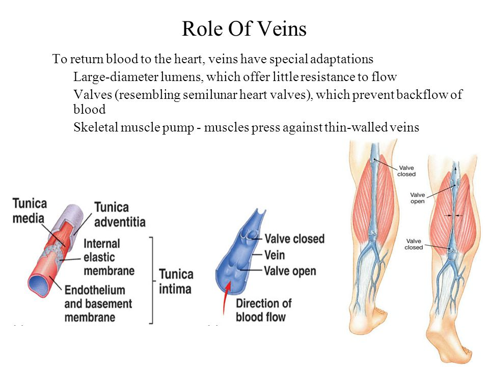 Role Of Veins To return blood to the heart, veins have special adaptations Large-diameter lumens, which offer little resistance to flow Valves (resemb