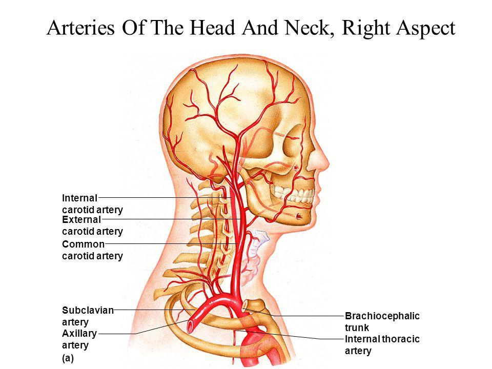 Arteries Of The Head And Neck, Right Aspect Brachiocephalic trunk Internal thoracic artery Internal carotid artery Subclavian artery (a) Axillary arte