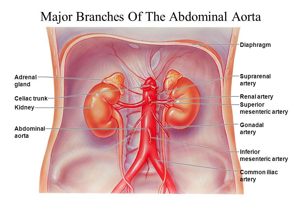 Major Branches Of The Abdominal Aorta Adrenal gland Celiac trunk Kidney Abdominal aorta Diaphragm Suprarenal artery Renal artery Superior mesenteric a