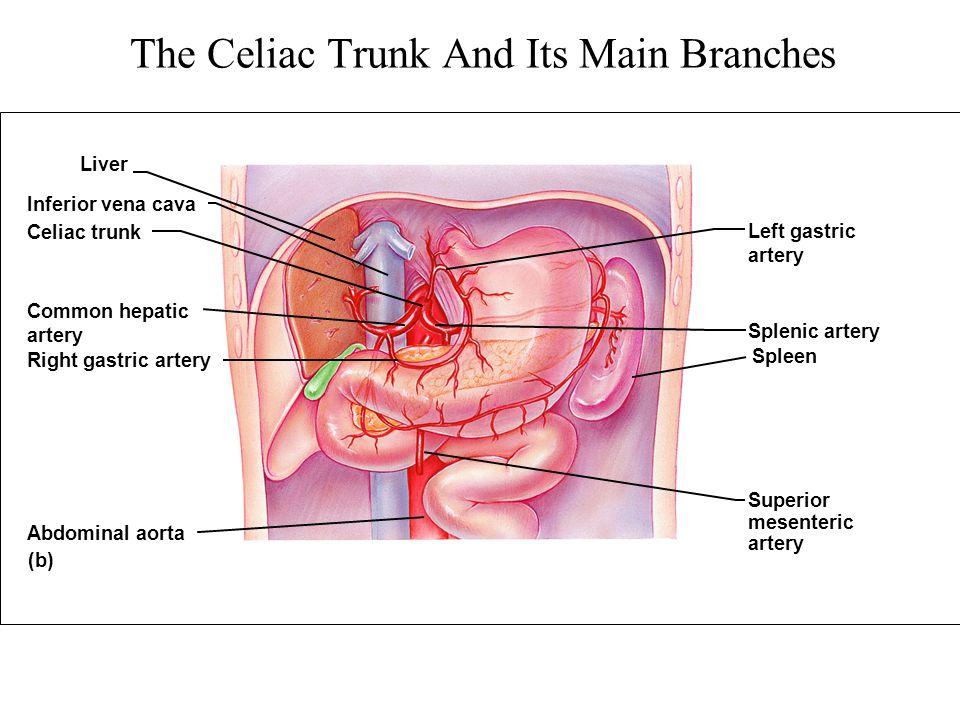 The Celiac Trunk And Its Main Branches (b) Liver Left gastric artery Superior mesenteric artery Spleen Splenic artery Inferior vena cava Celiac trunk
