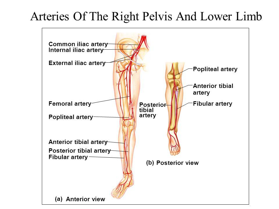 Arteries Of The Right Pelvis And Lower Limb (a) (b) Common iliac artery Femoral artery Popliteal artery Anterior tibial artery Posterior tibial artery