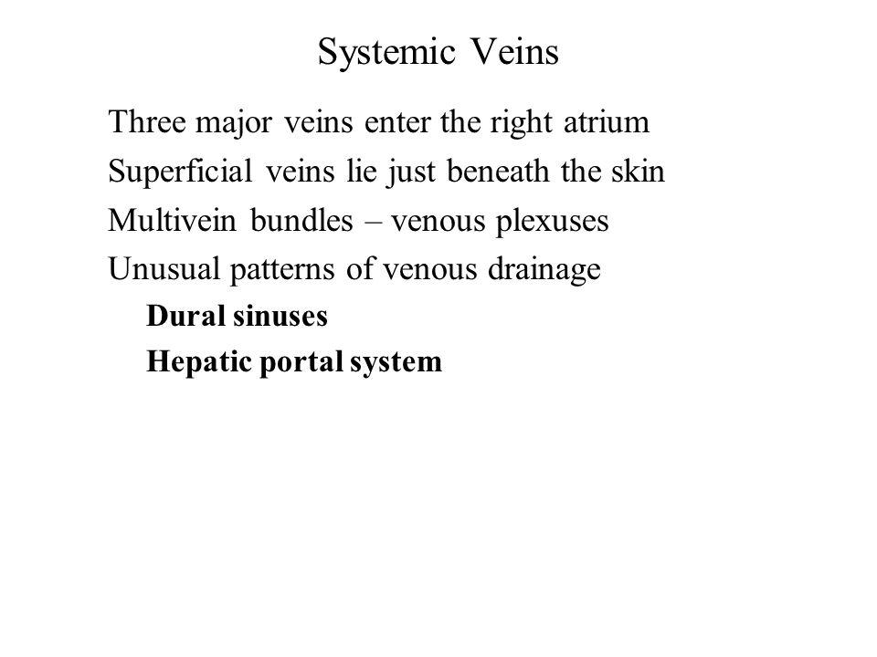 Systemic Veins Three major veins enter the right atrium Superficial veins lie just beneath the skin Multivein bundles – venous plexuses Unusual patter