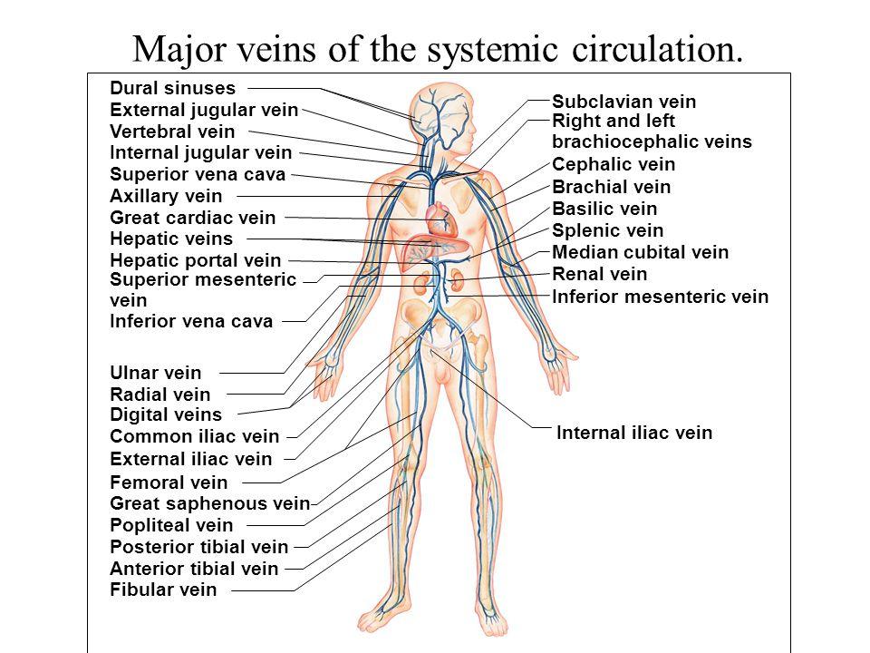 Major veins of the systemic circulation. Renal vein Splenic vein Basilic vein Brachial vein Cephalic vein Dural sinuses External jugular vein Vertebra