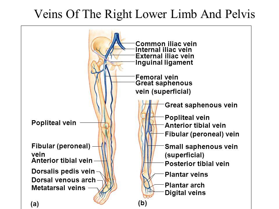 Veins Of The Right Lower Limb And Pelvis (b) Popliteal vein Common iliac vein Fibular (peroneal) vein Anterior tibial vein Dorsalis pedis vein Dorsal