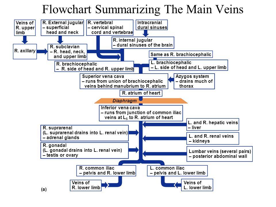 Flowchart Summarizing The Main Veins R. External jugular – superficial head and neck R. vertebral – cervical spinal cord and vertebrae R. brachiocepha