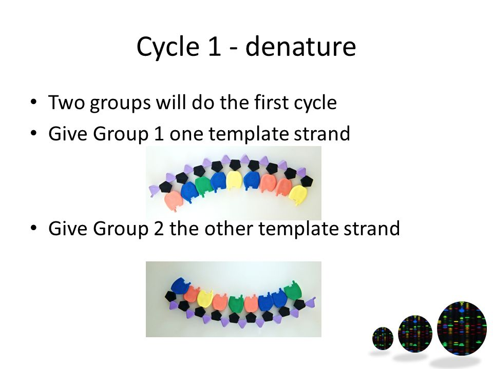 Cycle 1 - denature Two groups will do the first cycle Give Group 1 one template strand Give Group 2 the other template strand