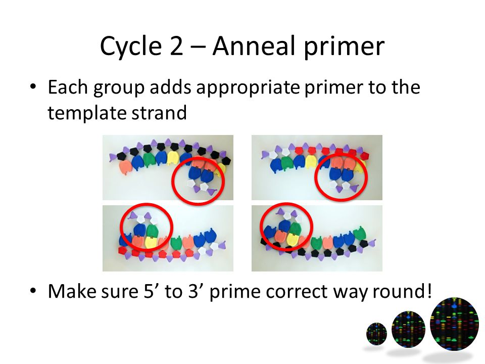 Cycle 2 – Anneal primer Each group adds appropriate primer to the template strand Make sure 5' to 3' prime correct way round!