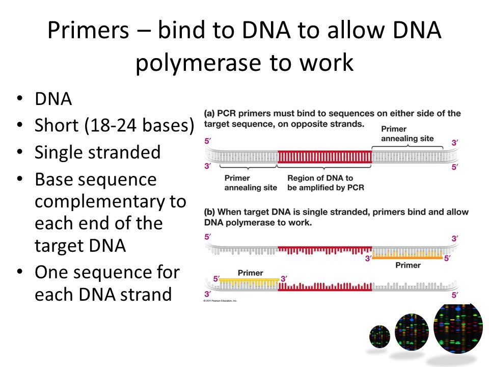 Primers – bind to DNA to allow DNA polymerase to work DNA Short (18-24 bases) Single stranded Base sequence complementary to each end of the target DNA One sequence for each DNA strand