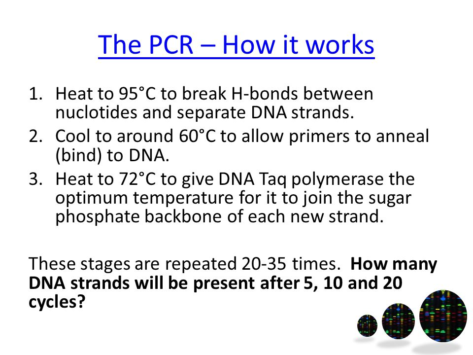 The PCR – How it works 1.Heat to 95°C to break H-bonds between nuclotides and separate DNA strands.