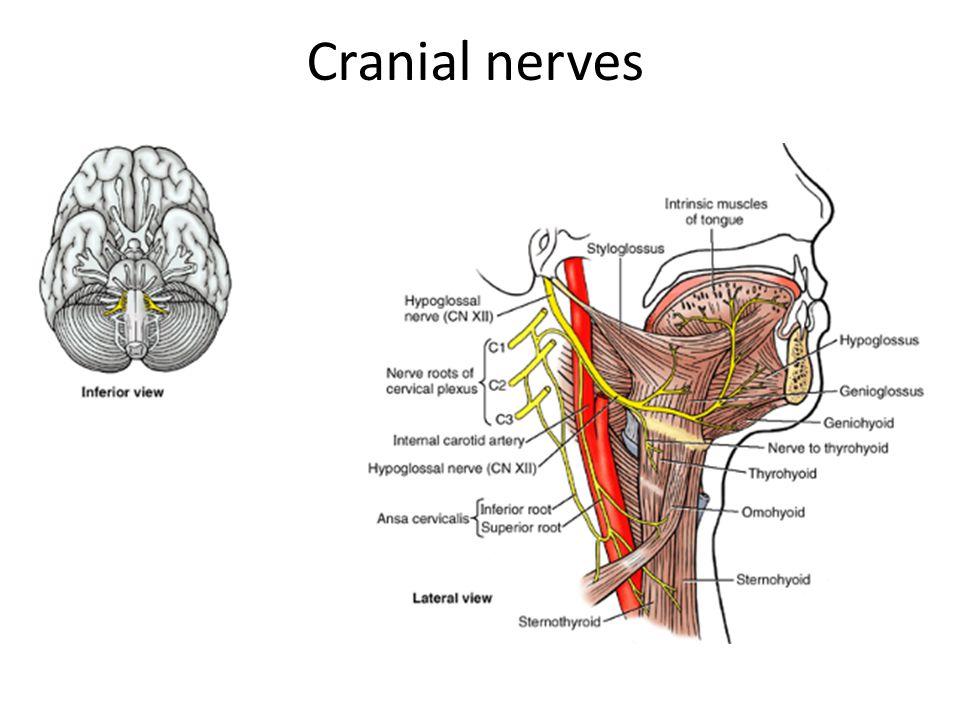 Vestibulocochlear Nerve Pathway - 2018 images & pictures - Essam ...
