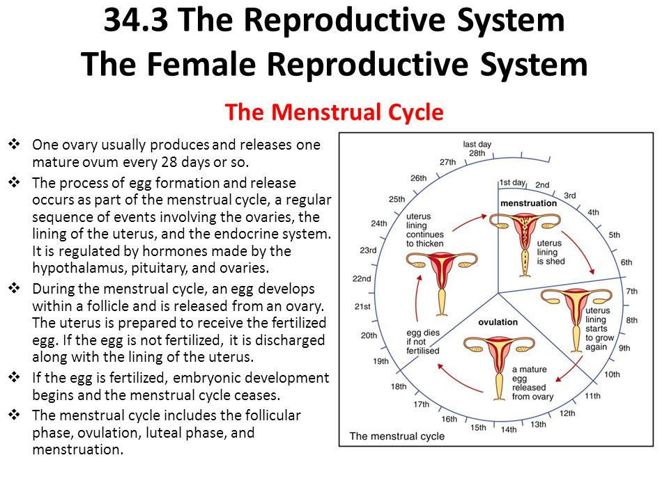 34.3 The Reproductive System The Female Reproductive System The Menstrual Cycle  One ovary usually produces and releases one mature ovum every 28 day