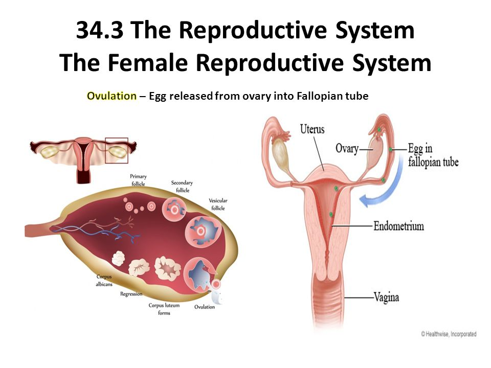34.3 The Reproductive System The Female Reproductive System