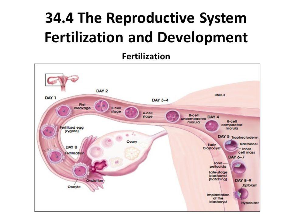34.4 The Reproductive System Fertilization and Development Fertilization
