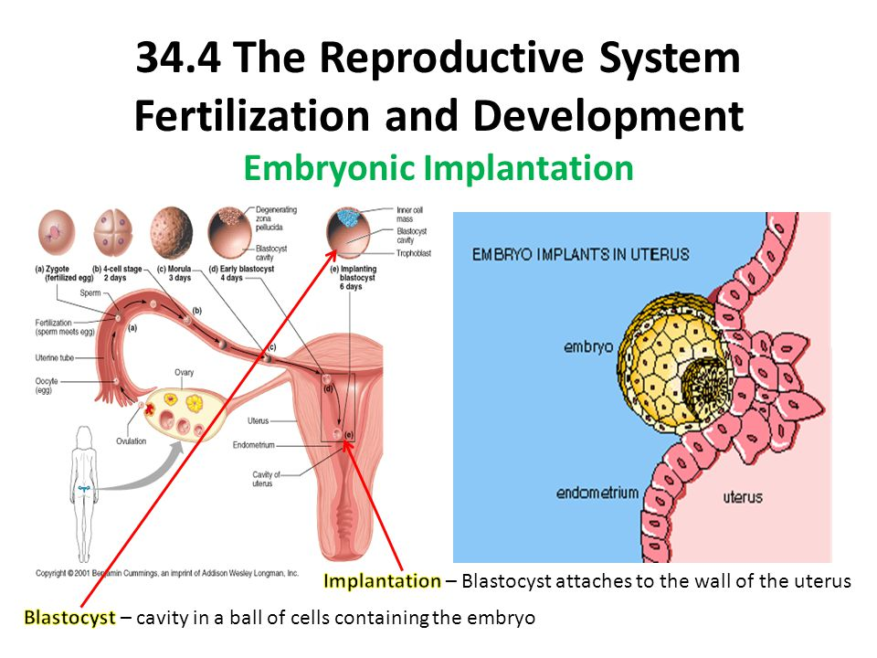 34.4 The Reproductive System Fertilization and Development Embryonic Implantation