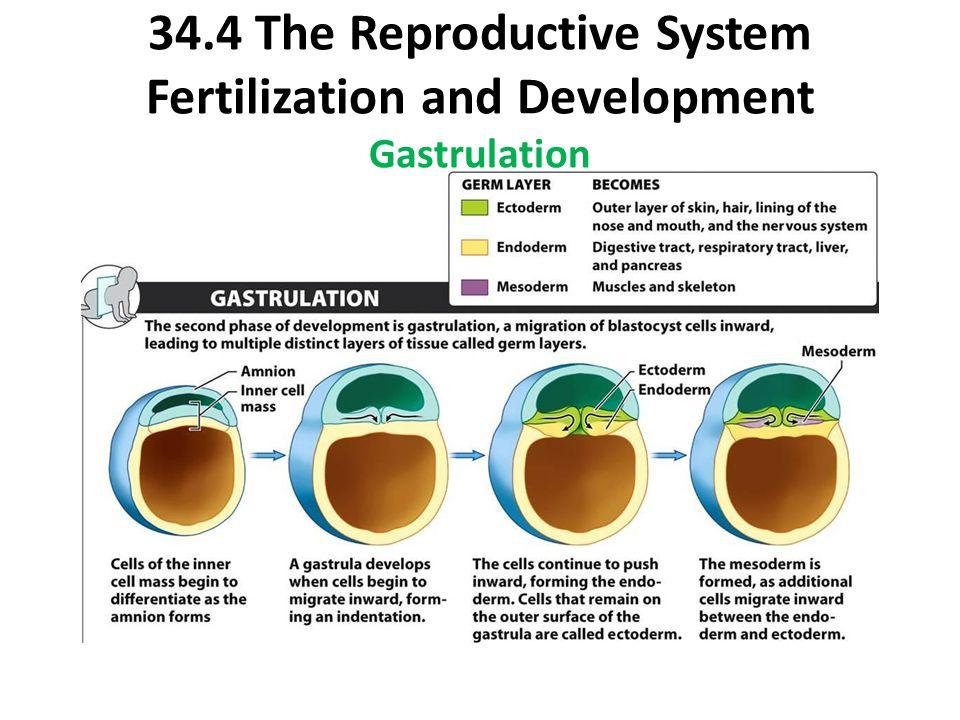 34.4 The Reproductive System Fertilization and Development Gastrulation