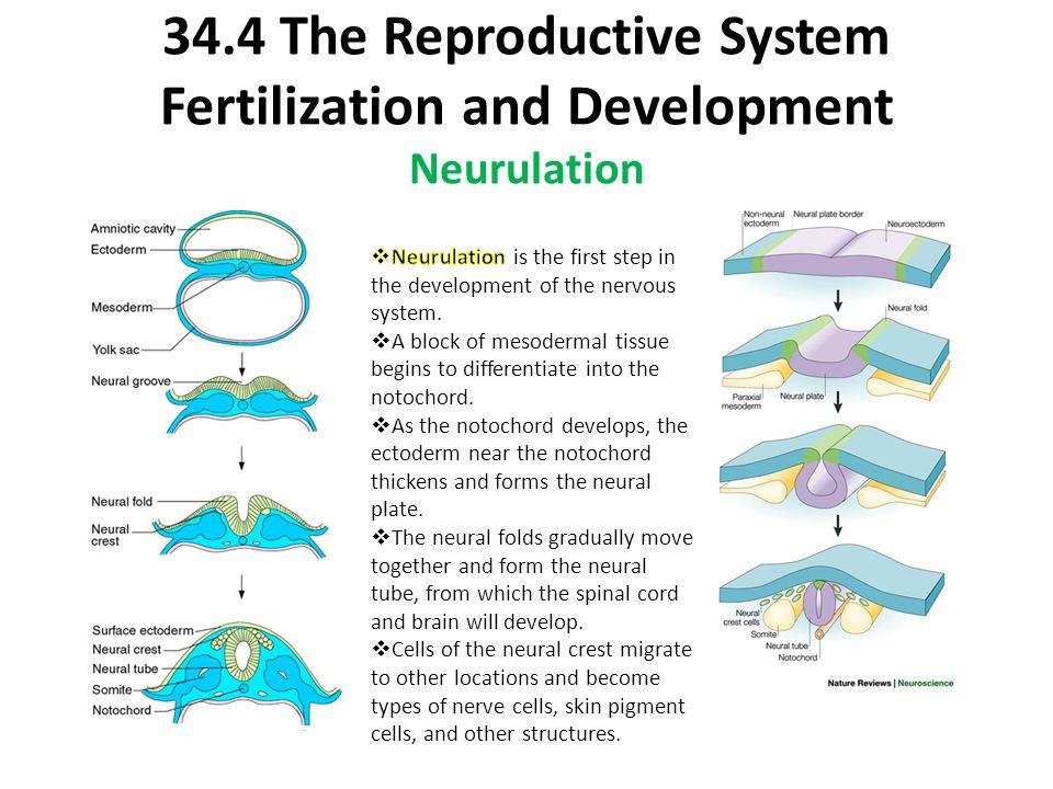 34.4 The Reproductive System Fertilization and Development Neurulation