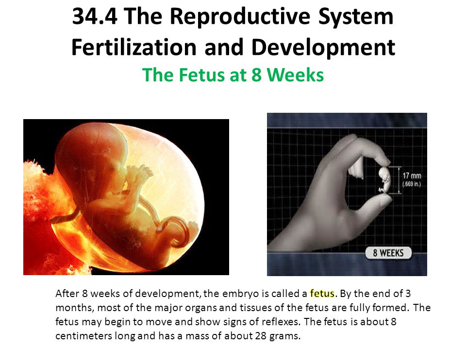34.4 The Reproductive System Fertilization and Development The Fetus at 8 Weeks