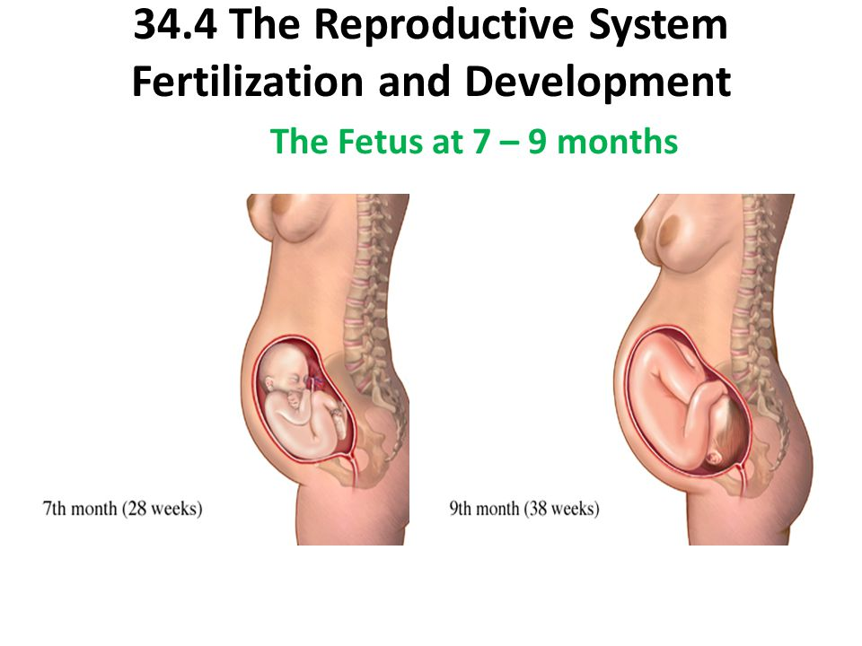 34.4 The Reproductive System Fertilization and Development The Fetus at 7 – 9 months