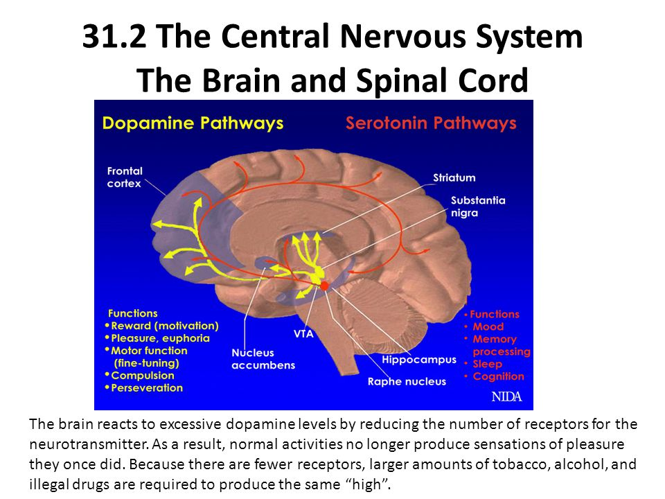 The brain reacts to excessive dopamine levels by reducing the number of receptors for the neurotransmitter. As a result, normal activities no longer p