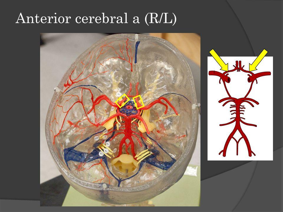 Anterior cerebral a (R/L)