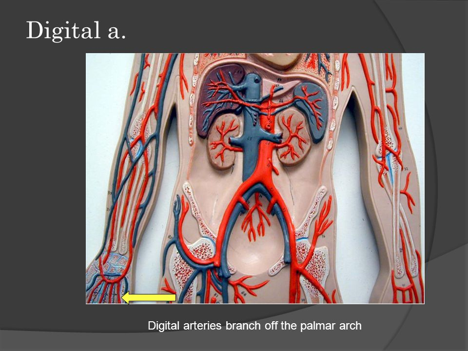 Digital a. Digital arteries branch off the palmar arch