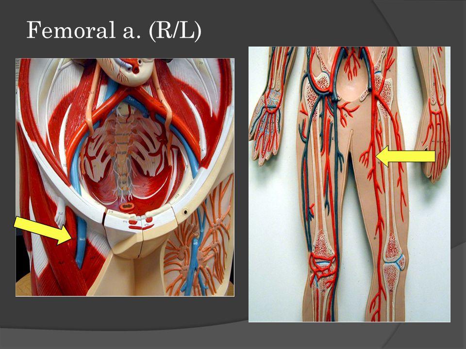 Femoral a. (R/L)